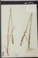 Spiranthes praecox image