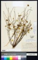 Balduina angustifolia image