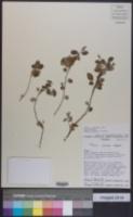 Image of Oxalis erosa