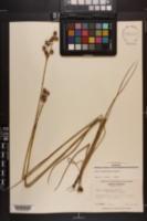 Juncus brachycarpus image