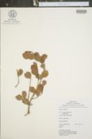 Myrcianthes hallii image