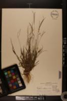 Digitaria violascens image