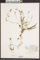 Potamogeton diversifolius image