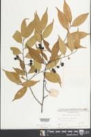 Image of Prunus phaeosticta