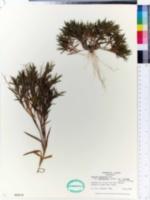 Panicum sabulorum image
