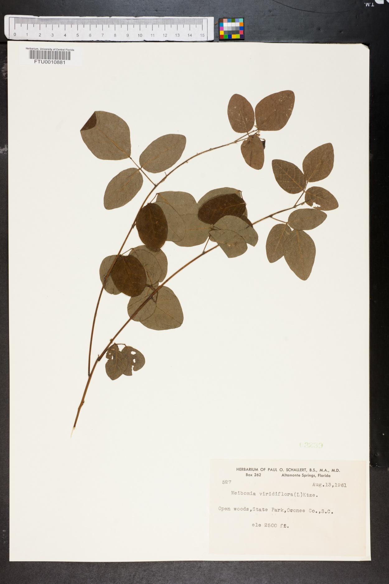 Meibomia viridiflora image