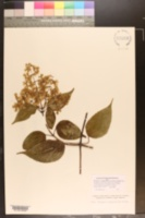 Mikania clematidiflora image