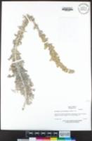Artemisia pycnocephala image