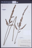 Image of Actaea japonica