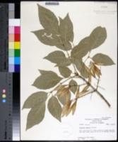Image of Fraxinus smallii
