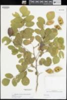 Brongniartia alamosana image