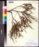 Image of Hypericum piriai