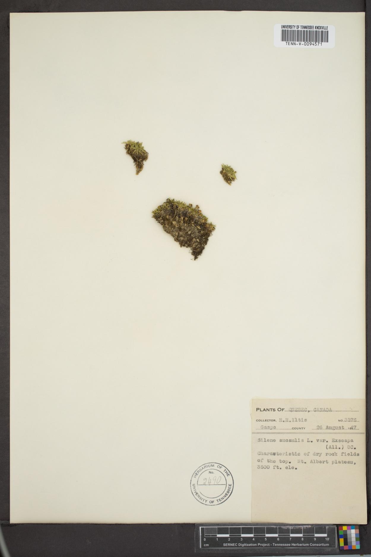 Silene acaulis var. exscapa image