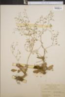 Image of Saxifraga leucanthemifolia