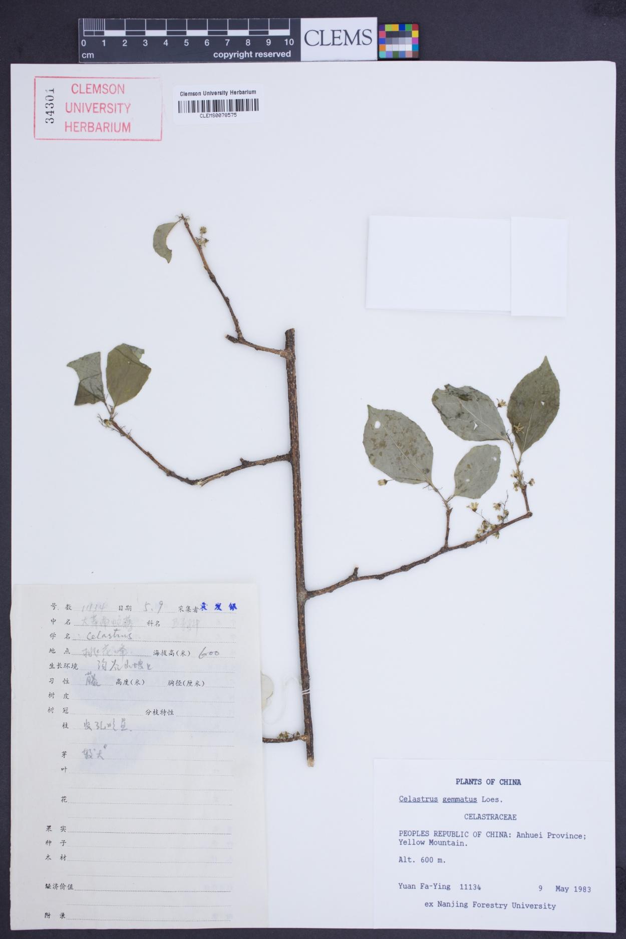 Celastrus gemmatus image