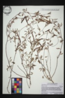 Desmanthus virgatus image