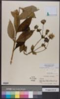 Image of Silphium perplexum
