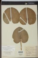 Nuphar orbiculata image
