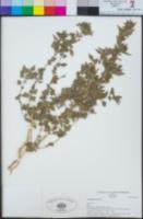 Chenopodiastrum murale image