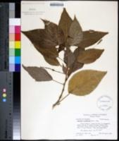 Image of Acalypha wilkesiana