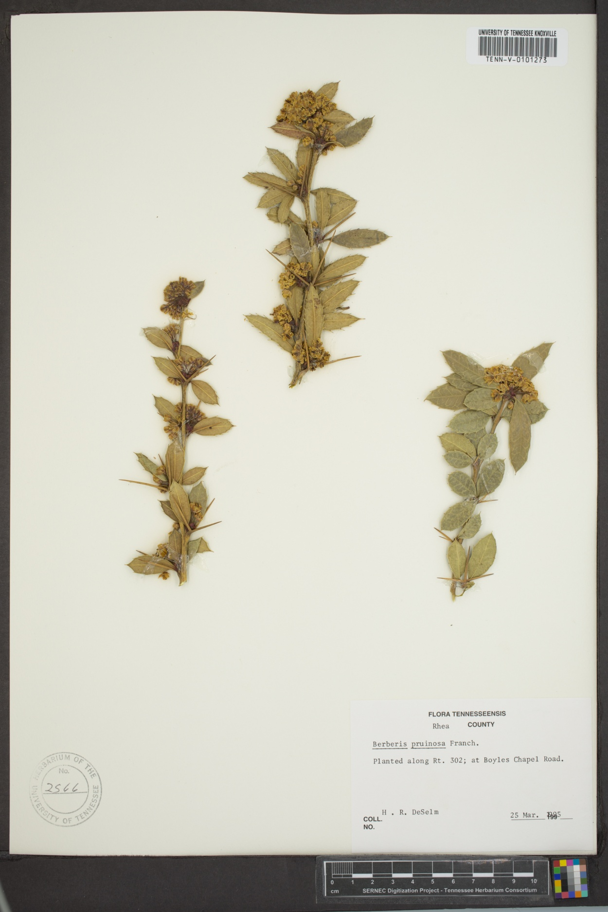 Berberis pruinosa image