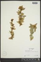 Image of Berberis pruinosa