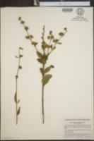 Image of Hyptis rubiginosa