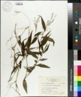 Ichnanthus pallens var. major image