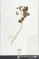 Eleutherococcus trifoliatus image