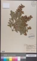 Leptospermum laevigatum image