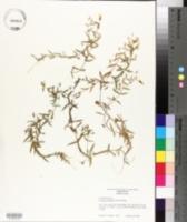 Image of Bacopa acuminata