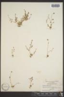 Image of Saxifraga bryophora