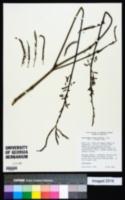 Image of Aeschynomene montevidensis
