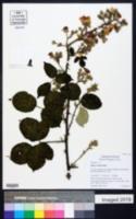 Rubus vestitus image