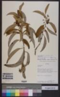 Image of Solanum ochrophyllum