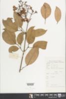 Image of Jasminum lanceolarium