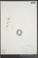 Lepuropetalon spathulatum image