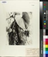 Image of Dioscorea alata