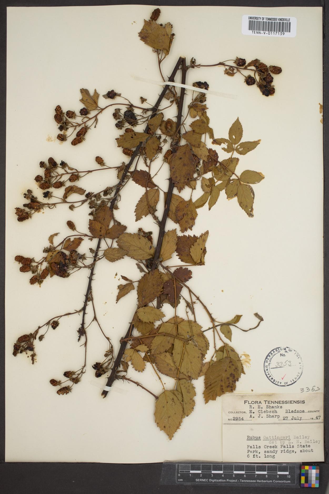 Rubus gattingeri image