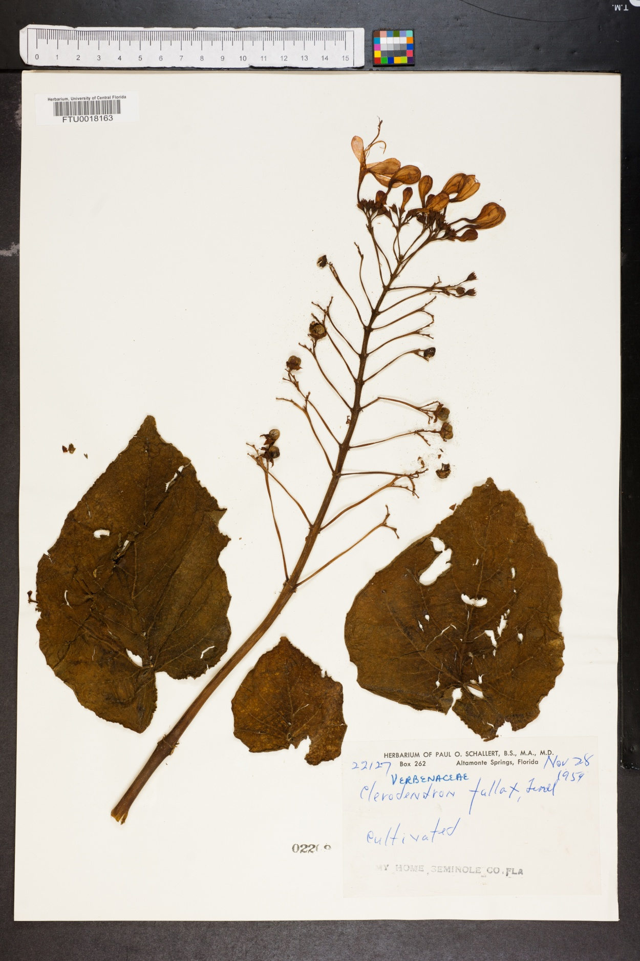 Clerodendron fallax image