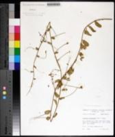 Image of Stylisma humistrata