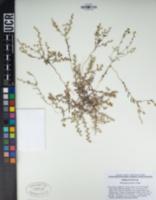 Pectocarya setosa image