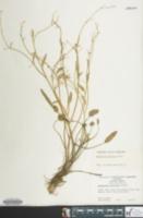 Image of Ranunculus pusillus