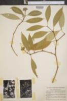 Image of Psychotria urbaniana