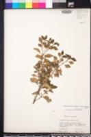 Alternanthera ficoidea image