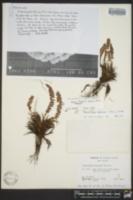 Image of Polystichum aleuticum
