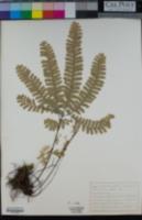 Adiantum aleuticum image