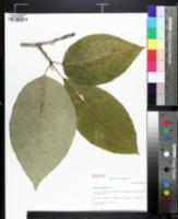 Image of Magnolia acuminata