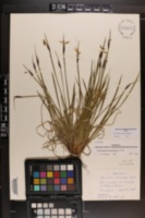 Sisyrinchium montanum var. montanum image