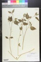 Image of Solanum sinaicum